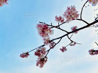 桜の写真・画像素材[2987027]