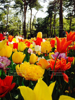 チューリップ花畑の写真・画像素材[2391687]