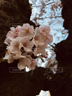 桜の写真・画像素材[2424657]