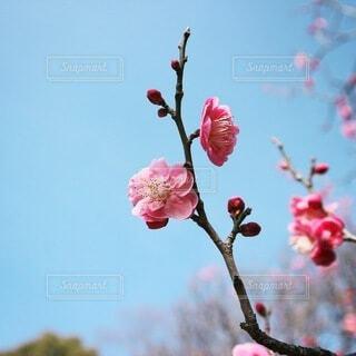 木の枝に咲くピンクの花のグループの写真・画像素材[4030403]