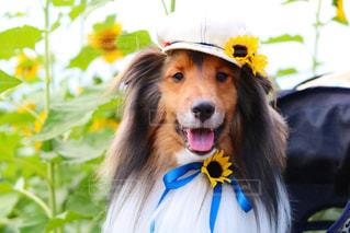 ヒマワリ畑で笑顔のシェルティの写真・画像素材[2392055]