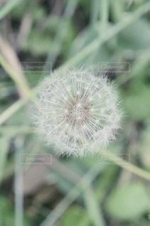 タンポポの綿毛の写真・画像素材[3407418]