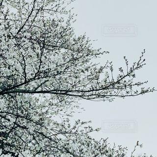 くもりの日、空の白の桜の写真・画像素材[2409091]