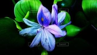 ホテイアオイの花の写真・画像素材[2400212]