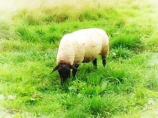 草を食べる羊の写真・画像素材[3911616]