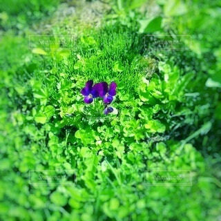 ひっそりと咲くすみれの花の写真・画像素材[4955500]