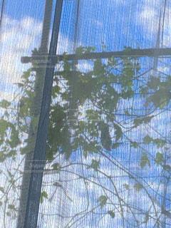 レース越しのベランダのゴーヤの写真・画像素材[2480009]