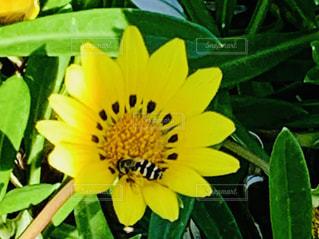 黄色い花とミツバチの写真・画像素材[2704310]
