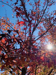 紅葉した木に当たる太陽の光の写真・画像素材[2742560]