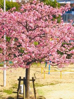 満開の河津桜の写真・画像素材[2974615]