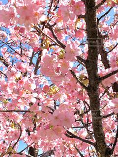 満開の河津桜の写真・画像素材[2975112]