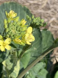 春を告げる菜の花。の写真・画像素材[2986489]
