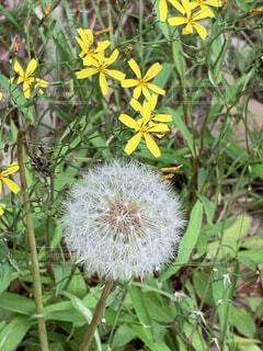 黄色い小花とまん丸の綿毛の写真・画像素材[4129057]
