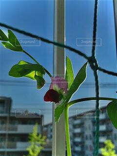ベランダのさやえんどうが咲きました。の写真・画像素材[4415420]