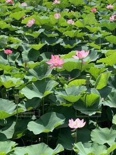 千葉市の花。オオガハス。の写真・画像素材[4654274]