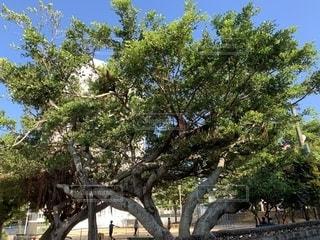 大きなガジュマルの木の写真・画像素材[2721147]