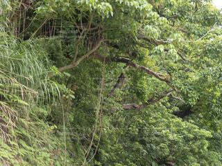 木の江田から長い蔓が伸びてる森の風景の写真・画像素材[3081667]