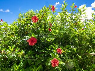 晴れた沖縄の青空とハイビスカスの写真・画像素材[3639433]