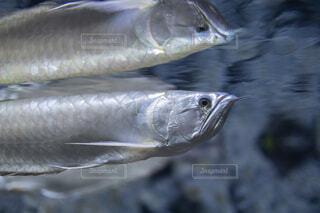 泳いでいる姿が水面に映るアロワナの写真・画像素材[4026020]