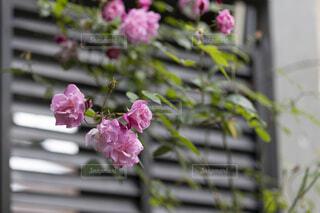 ガーデニングで育てた庭で咲いてるバラの花の写真・画像素材[4438634]
