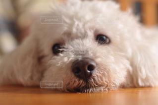 横目な犬の写真・画像素材[2399176]