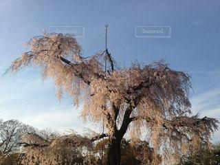 円山公園のしだれ桜の写真・画像素材[2399660]
