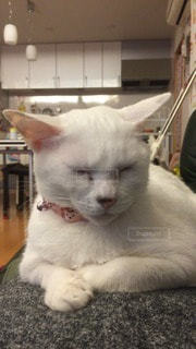 猫の写真・画像素材[92646]