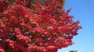 秋の空と紅葉の写真・画像素材[2401087]