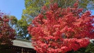 神社の紅葉の写真・画像素材[2401089]