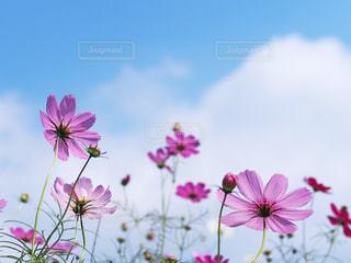 青空のコスモス畑の写真・画像素材[2505492]