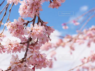 青空バックの桜の写真・画像素材[2639643]