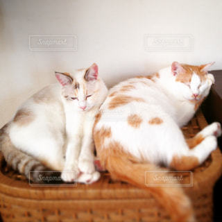 身を寄せ合い眠る猫達の写真・画像素材[2403589]