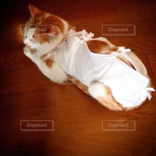 避妊手術後の猫の写真・画像素材[2403600]