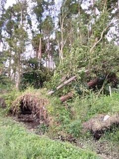 台風で倒れた木とめくれた地面の写真・画像素材[2434082]