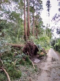 倒れた木とめくれた地面の写真・画像素材[2434083]