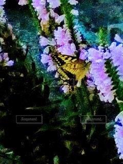 秋の蝶の写真・画像素材[2452997]