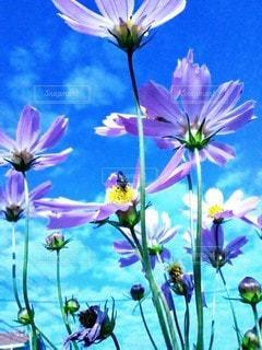 花言葉は乙女の純真の写真・画像素材[2548210]