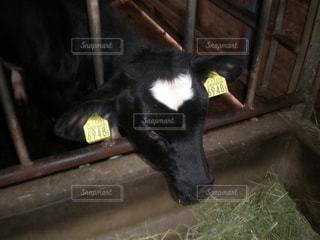ハート模様の子牛の写真・画像素材[2420795]