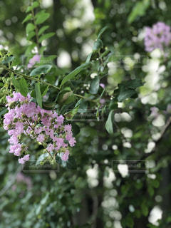 サルスベリの花 part2の写真・画像素材[2407954]