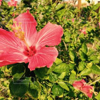 沖縄のハイビスカスの写真・画像素材[2408105]