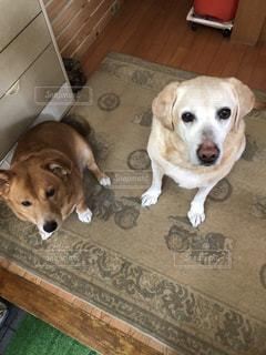 敷物の上に横たわる茶色と白の犬の写真・画像素材[3247946]