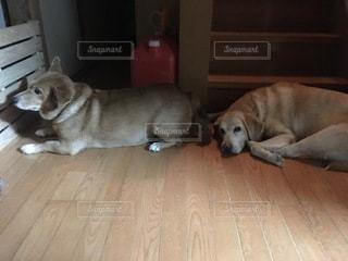 床に横たわる大きな茶色の犬の写真・画像素材[3268036]