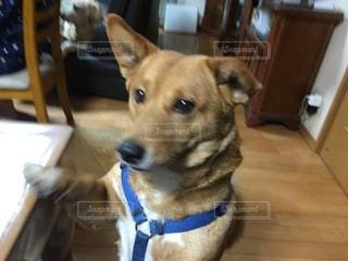 テーブルの上に座っている犬の写真・画像素材[3275609]
