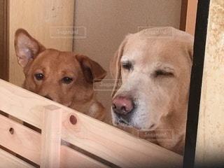 木製のドアの上に横たわる大きな茶色の犬の写真・画像素材[3275618]
