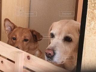 横になってカメラを見ている犬の写真・画像素材[3275617]