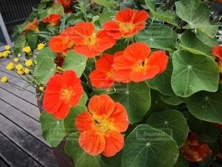 花壇の赤い花の写真・画像素材[2411070]