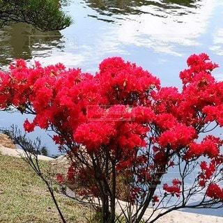縮景園の赤いツツジの写真・画像素材[2411069]