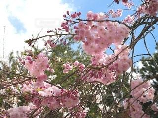 宮島の桜の写真・画像素材[2411566]