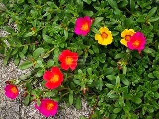 赤や黄色の可愛い花の写真・画像素材[2412751]