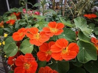 オレンジの花の写真・画像素材[2412748]